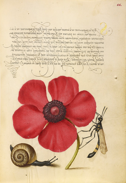 Terrestrial Mollusk, Poppy Anemone, and Crane Fly