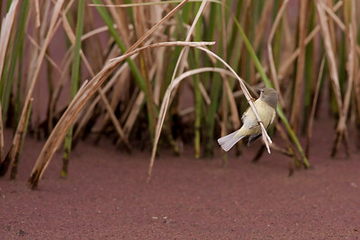 Orange-crowned Warbler Vermivora celata