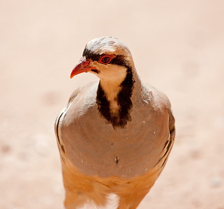 "Chukar – MaleAlectoris chukar  August – Utah L=14"" ......    WS=20""  ......   WT=1.3 lb......m>f Order: Galliformes (Gallinaceous Birds) Family: Phasiandae (Grouse, Turkeys, and Allies)"