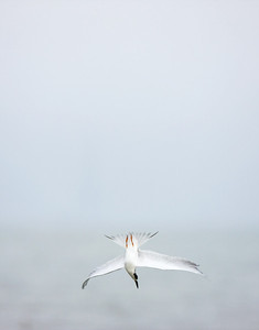 Forster's Tern – Diving for fishSterna forsteri January – Texas