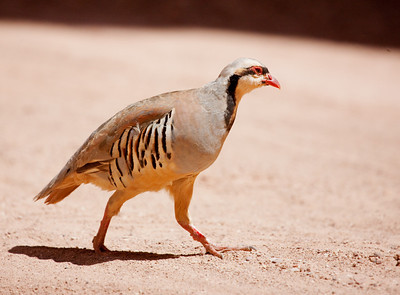 "Chukar – MaleAlectoris chukar  August – Utah L=14"" ......    WS=20""  ......   WT=1.3 lb......m>f Order: Galliformes (Gallinaceous Birds) Family: Phasiandae (Grouse, Turkeys, and Allies)  Chukars were introduced to the United States from northern India (now Pakistan) in the 1890's. Subsequent introductions on a large scale occurred in the 20th century in an effort to establish a new game bird. The preferred habitat of the Chukar is steep, rocky, mountainous terrain and it feeds on seeds and leaves. The bird has become established in the Great Basin in Utah and Nevada and north through parts of Oregon, Idaho, and Washington. It is a favorite game bird of western hunters who consider it a particular challenge as they have to track the bird over great distances. Generally, the Chukar prefers to run instead of fly and can outdistance humans on difficult rocky terrain. If forced to fly the bird will explode upward and then glide downhill."