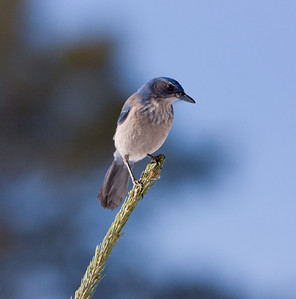 """Western Scrub-Jay – Interior or """"Woodhouse's"""" subspecies Aphelocoma californica  January – Colorado L=11.5"""".......     WS=15""""    ....... WT= 3 oz Order: Passeriformes (Passerine Birds) Family: Covidae (Crows and Jays) The Western Scrub-Jay has three well differentiated subspecies that reside (1) along the Pacific Ocean of California and Oregon, (2) in the non-coastal area of California and east to Texas but remaining south of Montana, and (3) in southern Mexico. There is very little overlap in their ranges. The two North American subspecies are called the """"coastal"""" or """"California"""" and the """"interior"""" or """"Woodhouse's"""".   The physical and behavioral characteristics of these two North American birds are distinct. The coastal subspecies is thicker billed, darker and richer in color overall. They are bold, conspicuous and adapt well to human neighborhoods. Thus they are easily spotted. The interior subspecies is drabber, secretive, and more frequently heard than seen.  Given the lack of range overlap and the associated lack of inter-breeding, differences in physical appearance, and differences in behavior separating these subspecies ornithologists continue to study the evolutionary history of these birds and may create three species where one now exists."""