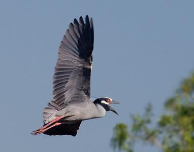 "Yellow-crowned Night-Heron – in flightNyctanassa violacea April – Texas L=24""    ...... WS=42"" .......    WT=1.5 lb  Order: Ciconiiformes (Herons, Ibises, Storks, New World Vultures, Allies) Family: Ardeidae (Herons, Egrets, Bitterns)"