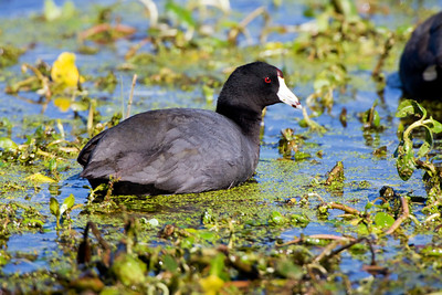 "American Coot – foragingFulica americana March – Texas L=15.5""  ......   WS=24""......     WT=1.4 lb......m>f Order: Gruiformes (Rails, Cranes, and Allies) Family: Rallifae (Rails, Gallinules and Coots)"
