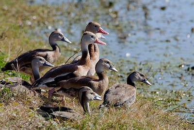 "Black-bellied Whistling-Duck  –adults and juvenilesDendrocygna autumnalis January – Texas L=21""......     WS=30"" ......    WT=1.8 lb Order: Anseriformes (Ducks, Geese Swans)  Family: Aatidae (Ducks, Geese Swans)"