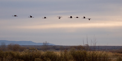 """Sandhill Crane – Flying out in early morningGrus canadensis  January – New Mexico L=41-46""""  ......   WS=73-77"""" ......    WT=7.3-10.6 lb .......    m>f Order: Gruiformes (Rails, Cranes, Allies) Family: Gruidae (Cranes) Sandhill Cranes are one of two types of crane commonly found in North America, the other being the endangered Whooping Crane (Grus americana). They are among the oldest living birds and are long lived, with some individuals surviving for 20 or more years.   Prior to migration large numbers of Sandhill Cranes gather on the Platte River in Nebraska and then migrate en masse. At their wintering grounds large flocks remain together roosting at night and flying out to feeding grounds during the day. One favored place for wintering is Bosque del Apache National Wildlife Refuge in New Mexico."""