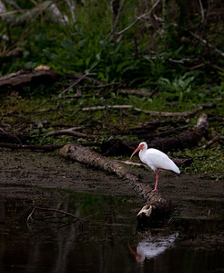 "White Ibis – foragingEudocimus albus March – Texas L=25"" ......    WS=38"" ......    WT=2 lb Order:Ciconiiformes (Herons, Ibises, Storks, New World Vultures, Allies)  Family: Threskiornithidae (Ibises and Spoonbills) White Ibises are in the same order as herons, storks, spoonbills, and New World vultures. They inhabit any area with shallow water or soft substrate. Their decurved bill is used to probe water or mud and they will, like spoonbills, sometimes swish their bill sideways and grasp prey that comes in contact with it."