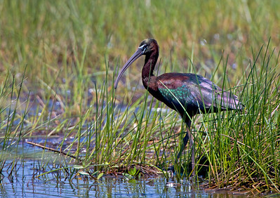 "Glossy Ibis – With Breeding Plumage ForagingPledgadis falcinellus April – Texas L=23"" ......    WS=36"" ......    WT=1.2 lb Order: Ciconiiformes (Herons, Ibises, Storks, New World Vultures, Allies)  Family: Threskiornithidae (Ibises and Spoonbills) The wisest of the Egyptian gods was Thoth, the patron of writing, astronomy, mathematics, law, magic, and healing. Thoth was usually depicted as an ibis headed man or as a full ibis. The ibis was relatively common throughout Egypt until the 19th Century, but now has almost disappeared.   In North America  during the 20th century the Glossy Ibis has gone from a rare species found predominately in Florida to a common breeder as far north as Maine This remarkable range expansion compares to the related White-faced Ibis which suffered greatly in the 1960's and 70's due to pesticides, draught, and drainage of mesting areas.  See next photo relating to Egyptian god Thoth and the ibis."