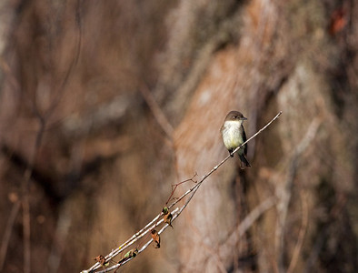 "Eastern Phoebe – restingSayornis phoebe December – Texas L=7""......     WS=10.5"" .......    WT=0.7 oz  Order: Passeriformes (Passerine Birds) Family: Tyannidae (Tyrant Flycatchers)"
