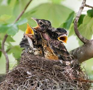 "American Robin chicks Turdus migratorius May – Texas  L=10""......WS=17"".....WT=2.7oz......(mature) Order: Passeriformes  (Passerine birds) Family:Turdidae (Thrushes) The American Robin is the largest, most abundant, and most widespread North American thrush. The presence of this rather tame songster in the backyard setting, together with its loud and musical voice, makes it one of the most easily recognizable birds in North America. Most people know the robin as a breeding bird of suburbs and farmland, where it forages in moist grass, often tugging at worms on garden lawns, and nests in shade trees. This nest was photographed in an urban backyard."