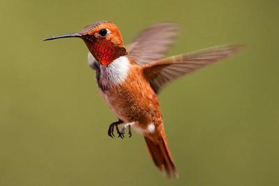 Rufous Hummingbird – Male Selasphorus rufous