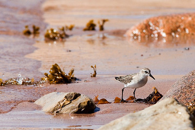 SanderlingCalidris alba  Sanderlings are a joy to watch.....chasing receding waves and then running from the incomimg waves in hopes of catching prey churned by the water.