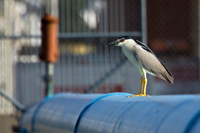 Black-crowned Night-Heron Nycticorax nycticorax  Sometimes the habitat is a surprise. Here a nocturnal bird of the lakes and swamps is foraging during the daytime in the heart of the city.