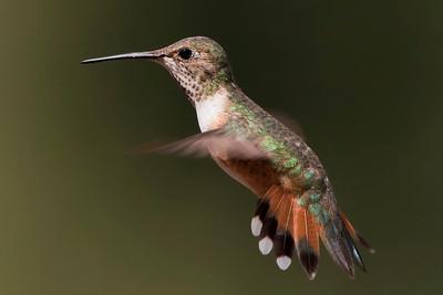 Rufous Hummingbird – Female Selasphorus rufous