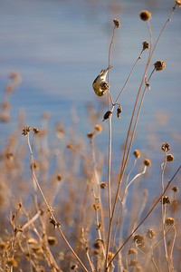 American Goldfinch  Spinus trirtis