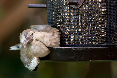 White-winged DoveZenaid asaitica  Juveniles sleep a lot. This individual picked a very busy bird feeder for its midday nap.