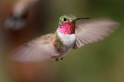 Broad-tailed Hummingbird – MaleSelasphorus platycerus