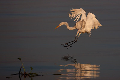 Great Egret Ardea alba  Great Egrets normally stalk their prey by walking ever so slowly through shallow waters and then capturing the prey with lightning quick strikes. Here the egret is diving to catch prey sighted from flight.