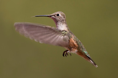Black-chinned Hummingbird – Female Archilochus alexandri