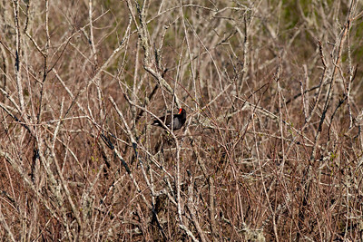 """Common Moorhen – LoafingGallinula chloropus April – Texas L=14""""  ......   WS=21""""......     WT=11 oz Order: Gruiformes (Rails, Cranes, and Allies) Family: Rallifae (Rails, Gallinules and Coots)"""