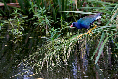 "strong>Purple Gallinule – ForagingPorphyrio martinica February – Texas L=13""  ......   WS=22""......     WT=8 oz......m>f Order: Gruiformes (Rails, Cranes, and Allies) Family: Rallifae (Rails, Gallinules and Coots) The Purple Gallinule is a striking and exotically colored bird. It has three very long front toes and an exceptionally long hind toe which enable it to walk on floating vegetation to forage for food. The name ""gallinule"" derives from the Latin ""gallina"" meaning ""little hen"". Purple Gallinules have proven to adapt well when their habitats have been modified. For example, they thrive in rice fields and eat invasive plant species such as water hyacinth (Eichhornia crassipes) and hydrilla (Hydrilla verticillata)."