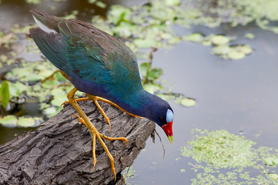 """Purple Gallinule – ForagingPorphyrio martinica February – Texas L=13""""  ......   WS=22""""......     WT=8 oz......m>f Order: Gruiformes (Rails, Cranes, and Allies) Family: Rallifae (Rails, Gallinules and Coots) The Purple Gallinule is a striking and exotically colored bird. It has three very long front toes and an exceptionally long hind toe which enable it to walk on floating vegetation to forage for food. The name """"gallinule"""" derives from the Latin """"gallina"""" meaning """"little hen"""". Purple Gallinules have proven to adapt well when their habitats have been modified. For example, they thrive in rice fields and eat invasive plant species such as water hyacinth (Eichhornia crassipes) and hydrilla (Hydrilla verticillata)."""