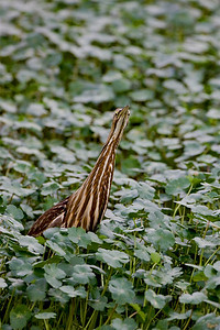 "American Bittern– Examing threats in""Bittern Stance"" Botaurus lentiginosus February – Texas L=28""    ...... WS=26"" .......    WT=7 oz Order: Ciconiiformes (Herons, Ibises, Storks, New World Vultures, Allies) Family: Ardeidae (Herons, Egrets, Bitterns)"