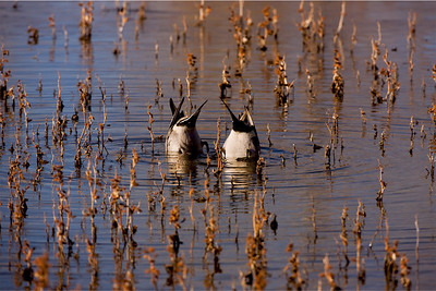 """Northern Pintail – DivingAnas acuta January – New Mexico L=21-25""""  ......   WS=35""""   ......  WT=1.8 lb Order: Anseriformes (Ducks, Geese and Swans)  Family: Anatidae (Ducks, Geese and Swans)"""