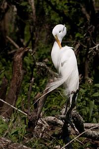 "Great Egret – Preening in breeding plumageArdea alba April – Texas L=39"" ......    WS=51"" ......    WT=1.9 lb      Order: Ciconiiformes (Herons, Ibises, Storks, New World Vultures, Allies) Family: Ardeidae (Herons, Egrets, Bitterns"