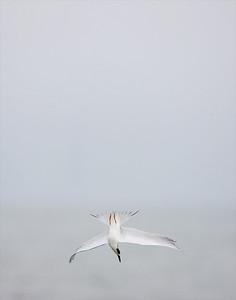 """Forster's Tern – Diving for fishSterna forsteri January – Texas L=13""""  ......   WS=31""""   ......  WT=6 oz Order: Charadriiformes (Shorebirds, Gulls, Auks, Allies)  Family: Laridae (Gulls, Terns,  Allies)"""