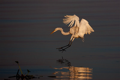 "Great Egret – Diving from flight to catch a fishArdea alba October – Texas L=39"" ......    WS=51"" ......    WT=1.9 lb      Order: Ciconiiformes (Herons, Ibises, Storks, New World Vultures, Allies) Family: Ardeidae (Herons, Egrets, Bitterns"