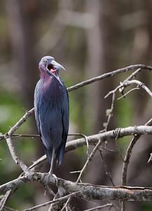 "Little Blue Heron – Alarm call Egretta caerylea March – Texas L=26""    ...... WS=36"" .......    WT=13 oz Order: Ciconiiformes (Herons, Ibises, Storks, New World Vultures, Allies) Family: Ardeidae (Herons, Egrets, Bitterns)"
