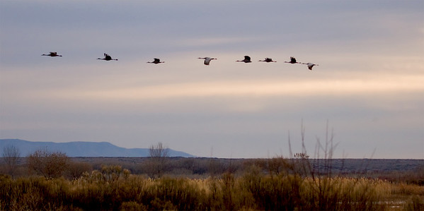 """Sandhill Crane – Flying out in early morningGrus canadensis  January – New Mexico L=41-46""""  ......   WS=73-77"""" ......    WT=7.3-10.6 lb .......    m>f Order: Gruiformes (Rails, Cranes, Allies) Family: Gruidae (Cranes)"""