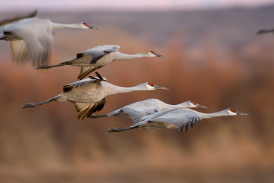"Sandhill Crane – Returning to roost at sunsetGrus canadensis  January – New Mexico L=41-46""  ......   WS=73-77"" ......    WT=7.3-10.6 lb .......    m>f Order: Gruiformes (Rails, Cranes, Allies) Family: Gruidae (Cranes)"