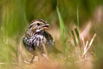 Savannah SparrowPasserculus sandwichensis