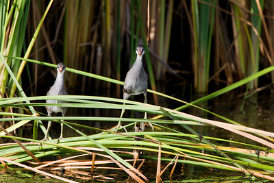 Common Moorhen Gallinula chloropus