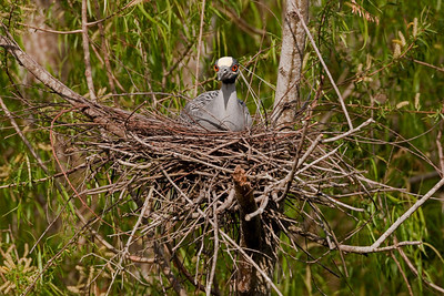 Yellow-crowned Night-Heron  Nyctanassa violacea
