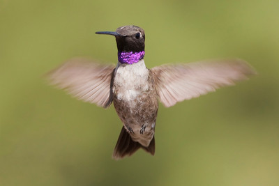 Black-chinned Hummingbird – Male Archilochus alexandri