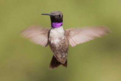 Black-chinned Hummingbird – Male Archilochus alexandri