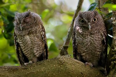 Eastern Screech OwlMegascops asio