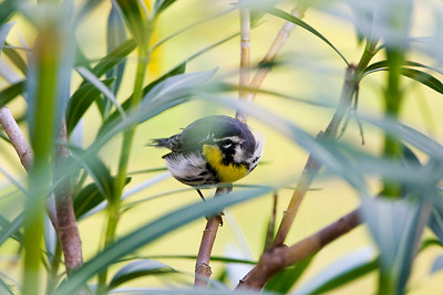 Yellow-throated Warbler Dendroica dominica