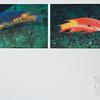 Rockfish / Bodião