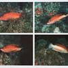 Fish behavior / Mimetismo