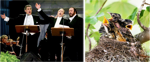 "7. The Three Tenors (Plácido Domingo, José Carreras and Luciano Pavarotti) in concert Artist: Plácido Domingo, José Carreras and Luciano Pavarotti (aka The Three Tenors) 	Title: Three Tenors Live In Tokyo (1996) 	Media: Photograph of Live Performance 	Photo Copyright: Reuters 8. American Robin chicks 	Turdus migratorius 	Size (adult): L 10""     WS 17""     WT 2.7 oz 	Location (date): Texas (May) 	Media: Digital Photograph 	Comments: The American Robin is the largest, most abundant, and most widespread North American thrush. The presence of this rather tame songster in the backyard setting, together with its loud and musical voice, makes it one of the most easily recognizable birds in North America. Most people know the robin as a breeding bird of suburbs and farmland, where it forages in moist grass, often tugging at worms on garden lawns, and nests in shade trees. This nest was photographed in an urban backyard.(5) 	Photo Copyright: Richard Stade (2009)"