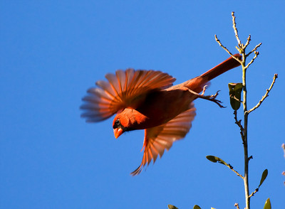 "Northern Cardinal – Taking flightCardinalis cardinalis December – Texas L=8.75""   ......  WS=12"" ......    WT= 1.6 oz Order: Passeriformes (Passerine Birds) Family: Cardinalidae (Cardinals and Allies) Northern Cardinals are familiar and popular birds in the Eastern U.S. due in large part to the male's brilliant red. While not as readily recognized, the female is equally beautiful with  buff tans and muted reds. A sign of the popularity of this bird is that it has been chosen as the state bird in 7 states.   New research has correlated the brilliance of the male with higher reproductive success and to territories with higher vegetation density. Also, both male and female plumage brightness positively correlates with superior parental care.  (Reference: Halkin, Sylvia L. and Susan U. Linvale. 1999. Northern Cardinal, The Birds of North America Online (A. Poole, Ed.) Ithaca: Cornell Lab of Orinthology; Retreived from Birds of North America Online.)"