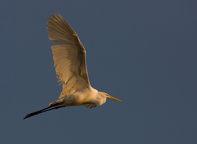"Great Egret – In early morningArdea alba October – Texas L=39"" ......    WS=51"" ......    WT=1.9 lb      Order: Ciconiiformes (Herons, Ibises, Storks, New World Vultures, Allies) Family: Ardeidae (Herons, Egrets, Bitterns"