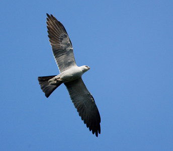 "Mississippi Kite – Feeding on the wingIctinia mississippiensis  May – Texas  L=14"" ......    WS=31""  ......   WT= 10 oz Order: Falconiformes (Diurnal Birds of prey) Family: Accipitridae (Hawks and Allies)"