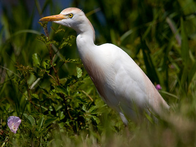 "Cattle Egret  – Male in breeding plumage foragingBubulcus ibis  April – Texas L=20""   ......  WS=36""   .......  WT= 12 oz Order: Ciconiiformes (Herons, Ibises, Storks, New World Vultures, Allies) Family: ,em>Ardeidae (Herons, Egrets, Bitterns) Cattle Egrets are unique among North American herons, bitterns and egrets in that they commonly forage alongside grazing cattle or behind farm equipment, both of which stir up insects. They are frequently seen standing on the backs of the grazing animals, which display little hostility to the egrets."