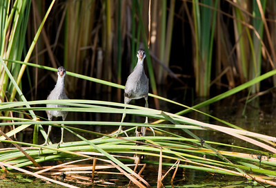 "Common Moorhen – Juveniles watching a passerbyGallinula chloropus July – Texas L=14""  ......   WS=21""......     WT=11 oz Order: Gruiformes (Rails, Cranes, and Allies) Family: Rallifae (Rails, Gallinules and Coots) Common Moorhens have large feet and very long toes allowing them to walk on floating plants and very soft soil on shorelines and in marshes. Even though their feet lack lobes or webs they swim well.  They nest near emergent vegetation close to relatively open water. The young lack the bright colors of the mature bird and typically stay close to the parent and the nest while learning to forage."