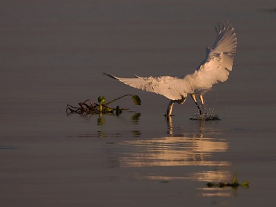 "Great Egret – Grabbing a fish from flight Ardea alba October – Texas L=39"" ......    WS=51"" ......    WT=1.9 lb      Order: Ciconiiformes (Herons, Ibises, Storks, New World Vultures, Allies) Family: Ardeidae (Herons, Egrets, Bitterns)"